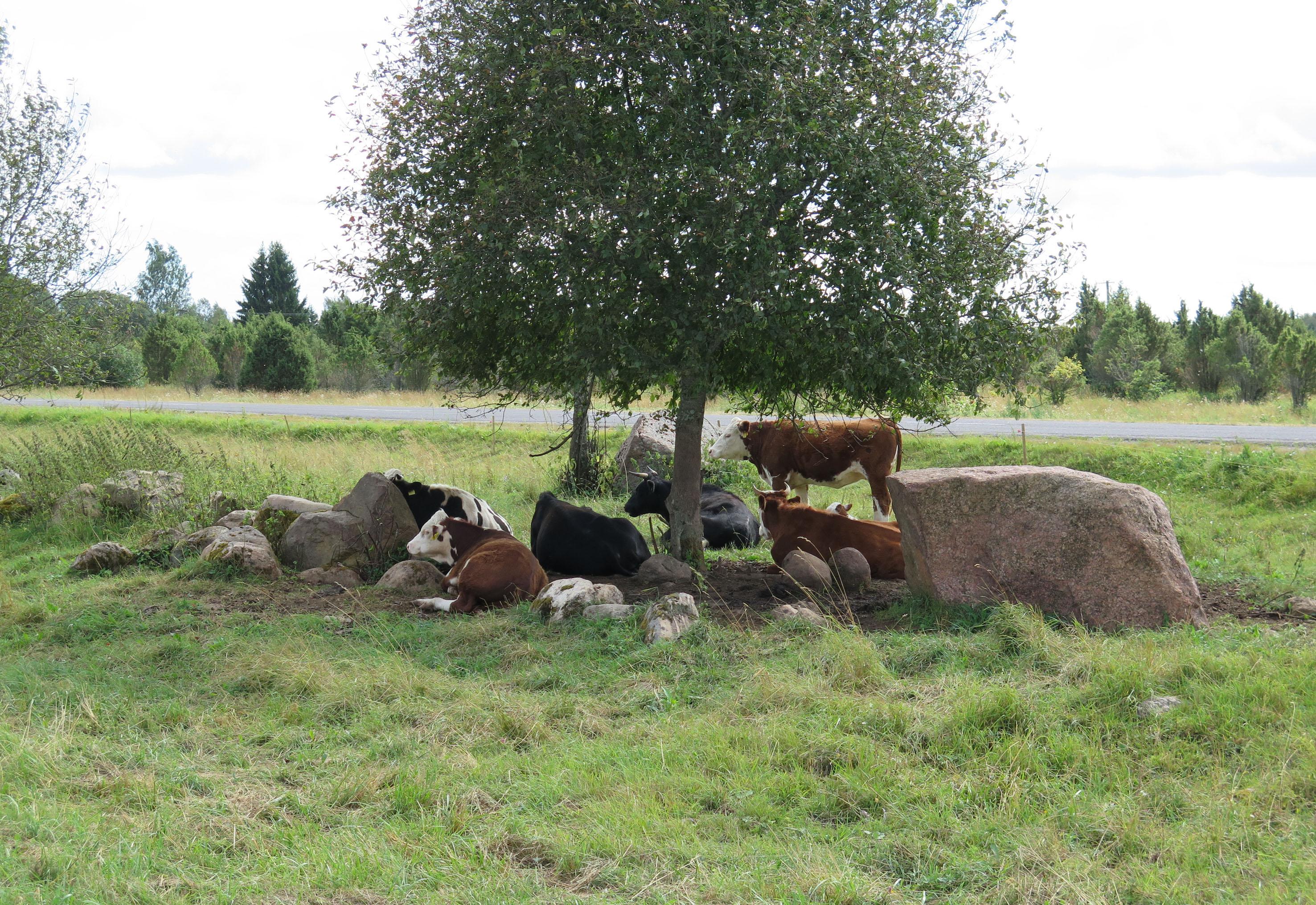 Kultuurmaastike kinnikasvamine häirib kohalikke elanikke ja õõnestab Lahemaa kuvandit nii kohalike kui ka turistide silmis. Vasakpoolsel fotol parasjagu kasutuses olev karjamaa, paremal mõned aastad karjatamata karjamaa. Lahemaa rahvuspargi piiril Sagadi lähistel. Foto: Henri Järv